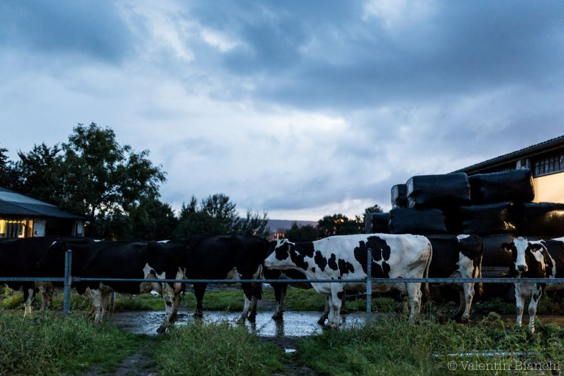 Cows in a farm located in Hombourg, Belgium, are waiting to be milked. Milking take two hours of job each morning and each evening. September 6th, 2015 © Valentin Bianchi