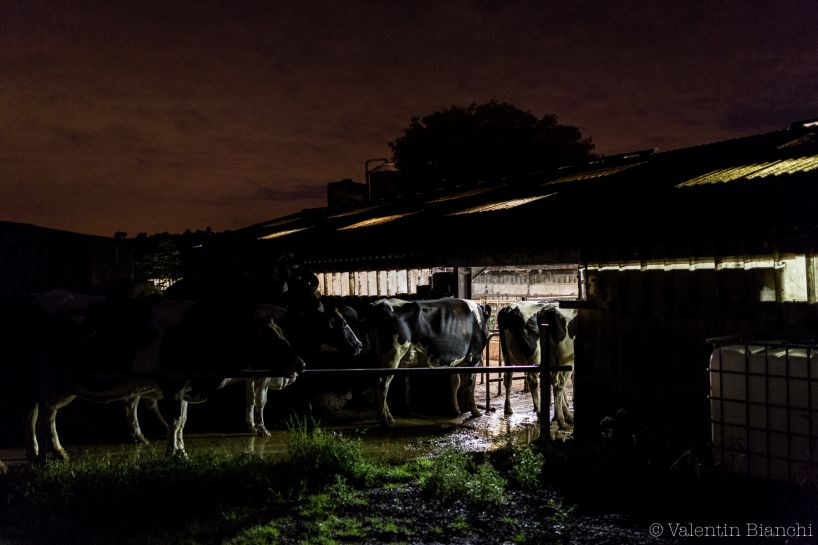 Early morning, Cows in a farm located in Hombourg, Belgium, are waiting to be milked. September 6th, 2015 © Valentin Bianchi